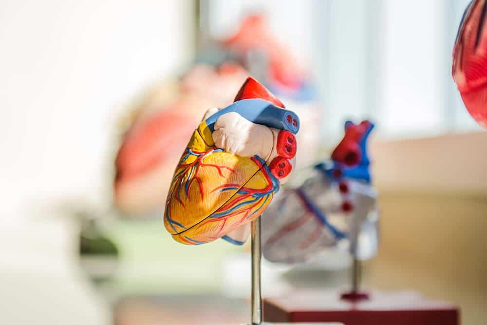 3-d model of heart